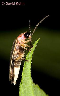 0109-0910  Lightning Bug (Fire fly or Firefly), Photinus spp. © David Kuhn/Dwight Kuhn Photography