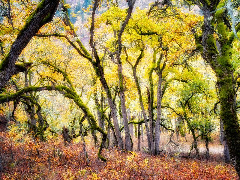 Oak trees and fall color. Washington