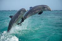Common Bottlenose Dolphins or Bottle-nosed dolphins (Tursiops truncalus).Honduras