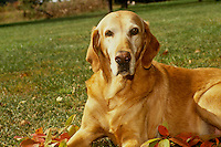 Golden retriever mix lying in fall leaves in back yard