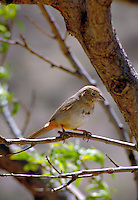 Canyon Towee, Pipilo fuscus (Family - Emberizidae). The Canyon Towee is also known as Brown Towee. animals, birds, songbirds, wildlife. Canyon Towee. Arizona.
