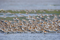 Dunlin (Calidris alpina) roosing during spring migration. Gray's Harbor County, Washington. April.