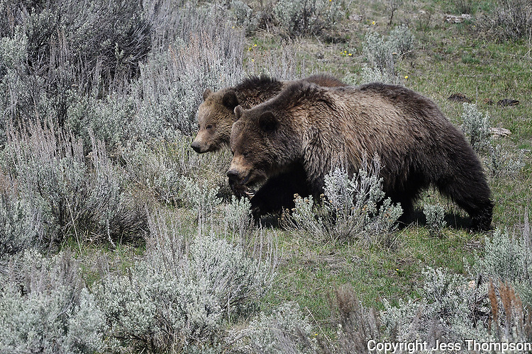 Grizzly Bear and Cub in Yellowstone