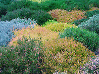 Various heather in bloom.  The Connie Hansen Garden. Lincoln City, Oregon