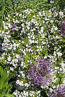 Philadelphus 'Manteau d'Hermine' bush shrub with double white flowers with Allium ornamental purple onion