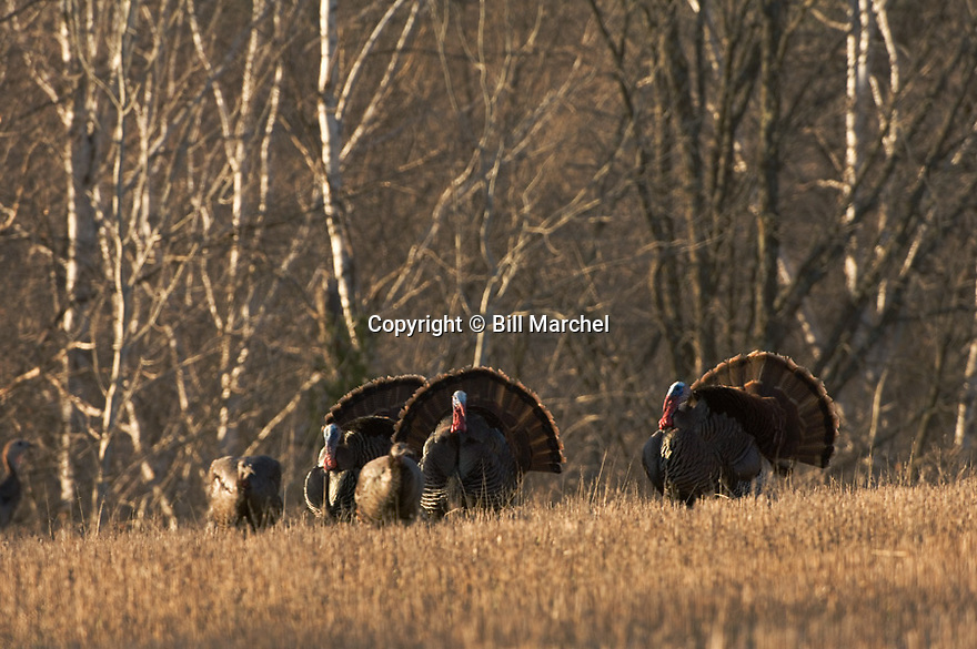 01225-080.19 Wild Turkey (DIGITAL) Three eastern toms are strutting for two hens in oat field next to hardwoods.  Hunt, breed.  H2E1