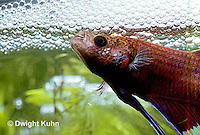 BY03-013z  Siamese Fighting Fish - male making protective bubble nest for eggs - Betta splendens