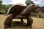 tortues géantes d'Aldabratortues géantes d'Aldabra .réserve des tortues de François Leguat à anse Quitor