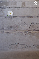 Daisy flower on concrete steps, close up (Licence this image exclusively with Getty: http://www.gettyimages.com/detail/74583279 )