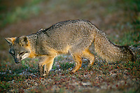 Island fox<br />