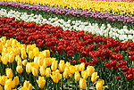 Rows and rows of brightly colored Tulips on display at Tulip Town in Mount Vernon, WA. at the Skagit county annual Tulip festival.
