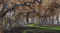 Greening trail thro;ugh blackened woodland Oak trees; Fire damage and recovery from Nuns fire October 2017, Sonoma Regional Park, California