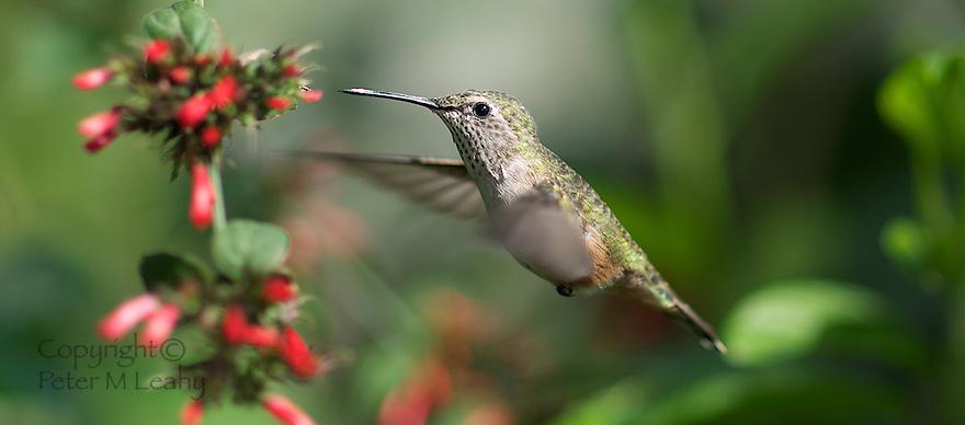 Hummingbird in mid flight collecting nectar.