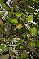 Cashew Nut and Yellow Cashew Apple, near Sokone, Senegal