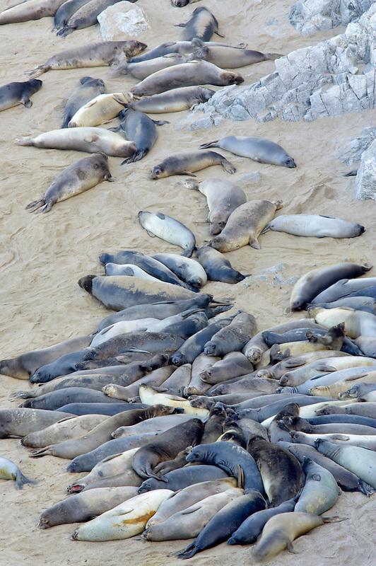 Sea Elephants sleeping on beach. Point Reyes National Seashore. California