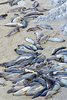 Sea Elephants sleeping on beach. Point Reyes National Seashore. California