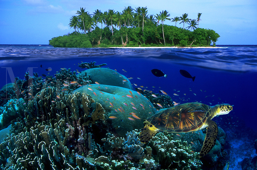 The green sea turtle Chelonia mydas is an endangered species. Micronesia (Digital composite)