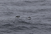 Adelie Penguins Pygoscelis adeliae Porpoising out of the sea. Weddel Sea, Southern Ocean, Antarctica