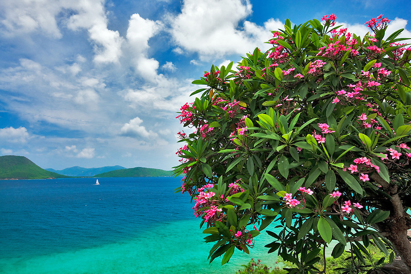 Plumeria in bloom and small sailboat off St. John Island.  US Virgin Islands. Virgin Islands National Park.