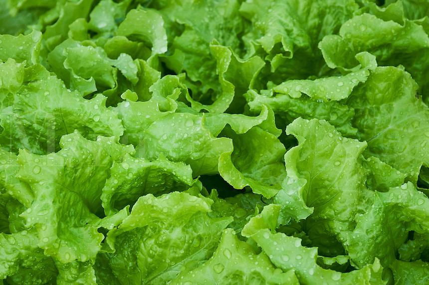Butterhead lettuce growing in a vegetable garden.