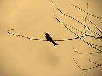 """Stock photo of Black-drongo silhouette sitting on dry branch in the dusk.<br /> <br /> This image is also available in monochrome. View the gallery-""""Black & White Fine Art Images""""."""