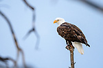 Adult bald eagle (Haliaeetus leucocephalus) perched in woodland on the banks of the Upper Yellowstone River. Yellowstone National Park, Wyoming, USA.