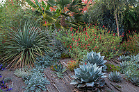 Summer-dry garden plantings with Nolina, Agave, Salvia and Horned Poppy in gravel, dry rock garden; Kuzma Garden. Photo MUST be credited as Design by Sean Hogan.
