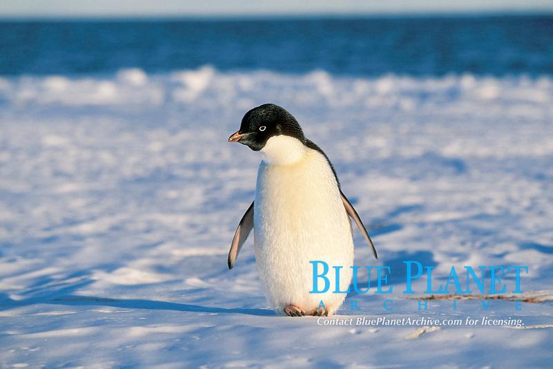 Adelie penguin, Pygoscelis adeliae, Drygalski Ice Tongue, Antarctica
