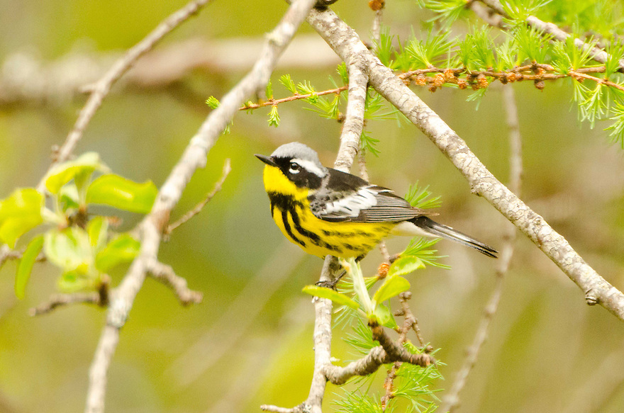 An absolutely stunning bird, Dendroica magnolia, or the Magnolia Warbler.