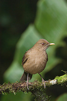 Clay-colored Robin, Turdus grayi, adult perched, Central Valley, Costa Rica, Central America