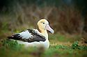Short-tailed Albatross (Phoebastria albatrus)