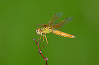 304570009 a wild female mexican amberwing dragonfly perithemis intensa perches on a small plant stem on pintail slough in havasu national wildlife refuge mojave county arizona united states