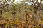 South African Giraffe (Giraffa giraffa giraffa) sub-adult in bushveld, Kruger National Park, South Africa