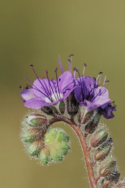 Blue Phacelia (Phacelia distans), blooming, Joshua Tree National Park, California, USA