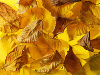 Fallen Autumn Leaves in a pile - Brightly coloured laeves.