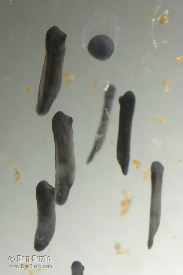 Egg and newly-hatched tadpoles of American bullfrog, Rana catesbeiana.  Immediately after hatching, the tadpole is about 5mm long and still has the appearance of an embryo.