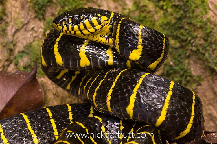 Mangrove Snake or Yellow-ringed Cat Snake (Boiga dendrophilia) in threat posture. Kinabatangan River, Sukau, Sabah, Borneo.