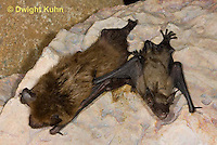 MA20-696z   Big Brown Bat mother and 4 week old young hanging from rock roost, Eptesicus fuscus