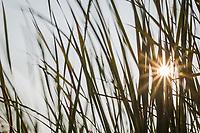 A sunburst breaks through a stand of cattail grass on a summer afternoon at a neighborhood park.