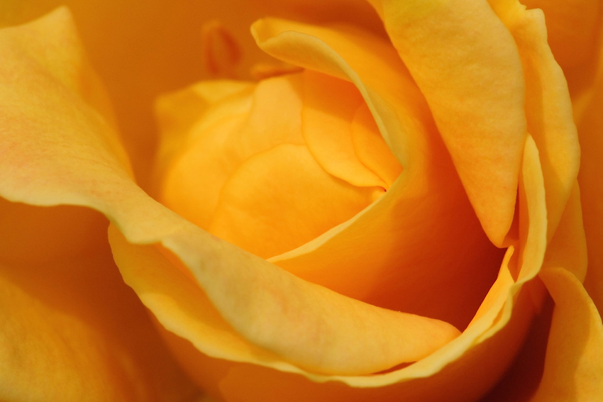 Inside the heart of a Joseph's Coat bloom..