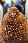 King penguin chick, South Georgia Island