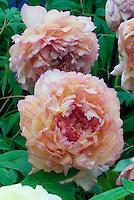 Paeonia x lemoinei Souvenir de Maxime Cornu (S) peachy-orange hybrid peony flowers