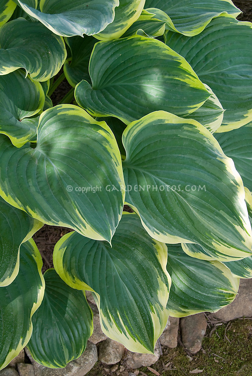 Hosta Sagae 2000 Hosta of the Year, variegated foliage perennial plant for shade gardens, bold leaves with cream yellow edges