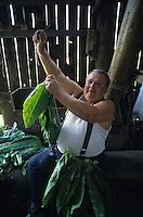 GERMANY, Brandenburg, tobacco cultivation and harvest, farmer in drying barn / DEUTSCHLAND, Brandenburg, Vieraden, Tabakanbau und Verarbeitung der Sorte Corso, Bauer beim Auffaedeln der Blaetter zum Trocknen in Trockenscheune
