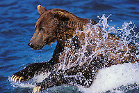 Ma1122  Coastal Grizzly Bear or Brown Bear attempting to catch a salmon.  Alaska.