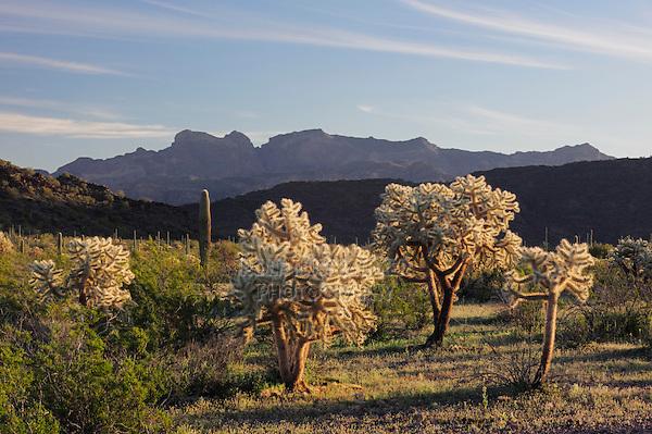 Sonoran desert with Saguaro Cactus (Carnegiea gigantea), Teddy Bear Cholla Cactus (Opuntia bigelovii), Organ Pipe Cactus National Monument, Arizona, USA
