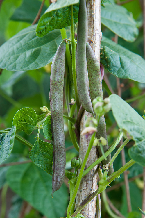 """Climbing French bean 'Cherokee Trail of Tears', early August. This variety derives its name from its dramatic history. In 1838, the Cherokee nation was displaced by settlers and set off on an infamous march that became known as the Trail of Tears. They were only able to take their most precious possessions with them, one of which was this bean. The young pods can be eaten raw or cooked, and they freeze perfectly. When dried the small black beans are delicious in winter stews."""" (Heritage Seed Library)"""