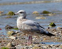 Third-winter herring gull
