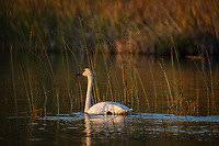 Trumpeter Swan family @ Anchorage's Potter Marsh beauiful sunset ligt