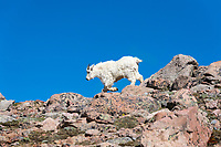 Yearling Mountain Goat (Oreamnos americanus) sprints off the summit of Mount Evans, following its mother.
